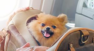 Cachorro dentro de mala viajando em avião